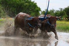 Water buffalo tradition Stock Image