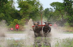 Water buffalo tradition Stock Images