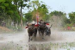 Water buffalo tradition Royalty Free Stock Photography
