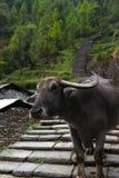 Water Buffalo on trail. Annapurna base camp blocked by a loan water buffalo Royalty Free Stock Photography
