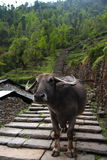 Water Buffalo on trail Stock Photography