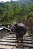 Water Buffalo on trail Stock Photography