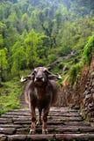 Water Buffalo on trail. Annapurna base camp blocked by a loan water buffalo Stock Image
