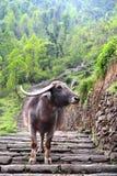 Water Buffalo on trail. Annapurna base camp blocked by a loan water buffalo Stock Photography