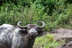 Water Buffalo - Uganda Royalty Free Stock Images
