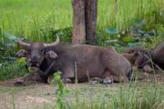 Water Buffalo. The Water Buffalo under the tree Stock Photography