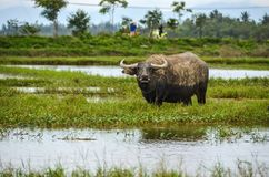 Water buffalo in Vietnam in field under water stock images