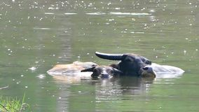 Water Buffalo wading and cooling down in the pond. stock video