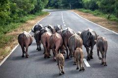 Water buffalo walking on the road Royalty Free Stock Image