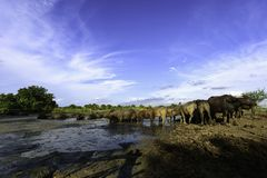 Water buffalo in mud. Water buffalo walking to mud and blue sky Stock Photos