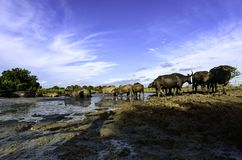 Water buffalo walking to mud. And blue sky Stock Image