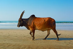Water buffalo walks on the beach. Royalty Free Stock Photo