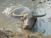 Water Buffalo Wallowing in a Mud Hole in Asia - Medium. Using the mud for protection from the sun and flies, a water buffalo wallows in a mud hole in Southeast Stock Photo