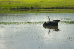 Water buffalo and white egret Royalty Free Stock Images