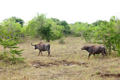 Water Buffalo in wild nature Royalty Free Stock Image
