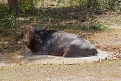 Water Buffalo in wild nature Stock Images