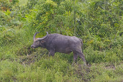 Water Buffalo in the Wilds Stock Image