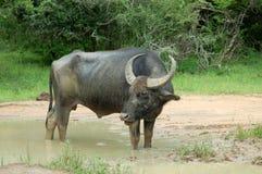 Water buffalo at Yala National Park, Sri Lanka Royalty Free Stock Photography