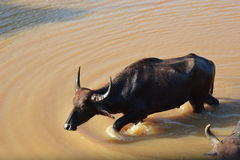 Water buffalo. Yala National Park. Sri Lanka Stock Images