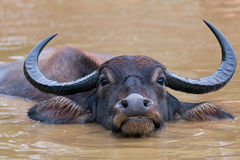Water buffalo at Yala National Park Royalty Free Stock Image