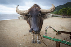 Water Buffalo, Yubu Island Royalty Free Stock Images
