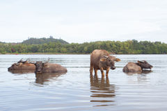WATER BUFFALOES BATHING IN A RIVER Stock Photos