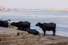 Water buffaloes on the ghats of Varanasi. Water buffaloes are standing on the ghats of Varanasi, in the background is the old city Stock Photo