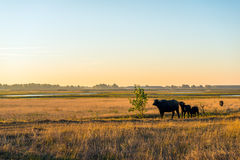 Water buffaloes graze in a large wet nature reserve in the Nethe Stock Photos