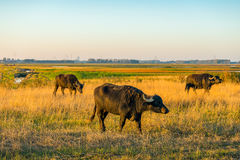 Water buffaloes graze in a large wet nature reserve in the Nethe Stock Photo
