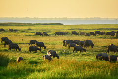 Water Buffaloes. Group of water buffaloes finding food on the grassland in Thailand Stock Photo