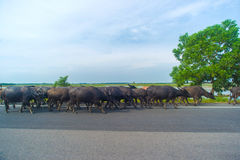 Water buffaloes Stock Photo