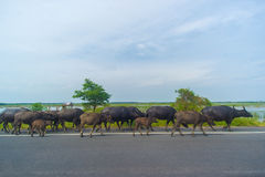 Water buffaloes Stock Image