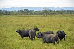 Free Water Buffaloes In High Grass Pasture Royalty Free Stock Image - 118091356