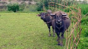 Water buffaloes on pasture with bamboo fence Royalty Free Stock Photography