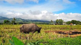 Water buffaloes pasturing in the rice filed 02. A closer shot of water buffaloes pasturing in the newly harvested rice field. native houses and active volcano Mt stock video