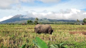 Water Buffaloes Pasturing in the Rice Filed 04. Shot of a water buffalo pasturing in the newly harvested rice field. Active volcano Mt. Canlaon and local birds stock footage