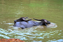 Water Buffaloes Royalty Free Stock Images