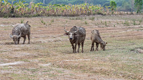 Water buffaloes standing relax after soaking mud. With soft focus Royalty Free Stock Photography