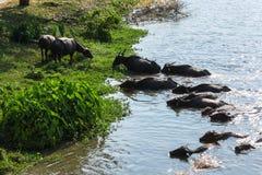 Water buffaloes swimming stock photos