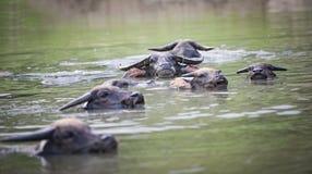 Water buffaloes swimming royalty free stock photos