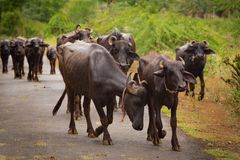 Water buffaloes are walking on a path Royalty Free Stock Images