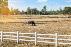 Water buffaloes in white fence on the grazing farm Royalty Free Stock Image