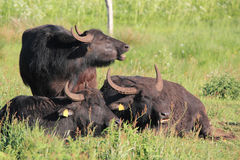 Water buffalos Stock Images