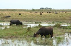 Water-buffalos Stock Photos