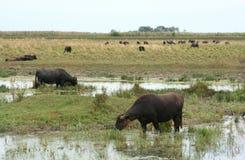 Water-buffalos stock photos
