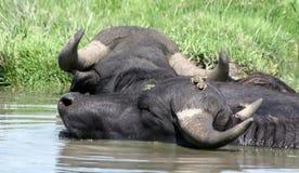 Water-buffalos stock photo