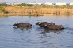 Water buffalos. Passing a river Stock Image