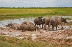 Water buffalos Stock Photos