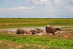 Water buffalos Royalty Free Stock Images