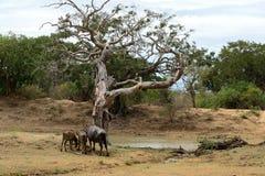 Water Buffalos Royalty Free Stock Image